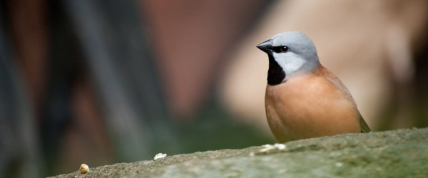 Black throated finch_small