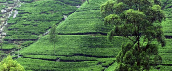 Tea_plantation_near_Kandy,_Sri_Lanka