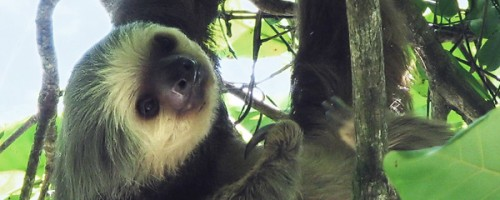 Two-toed_sloth_Costa_Rica_-_cropped
